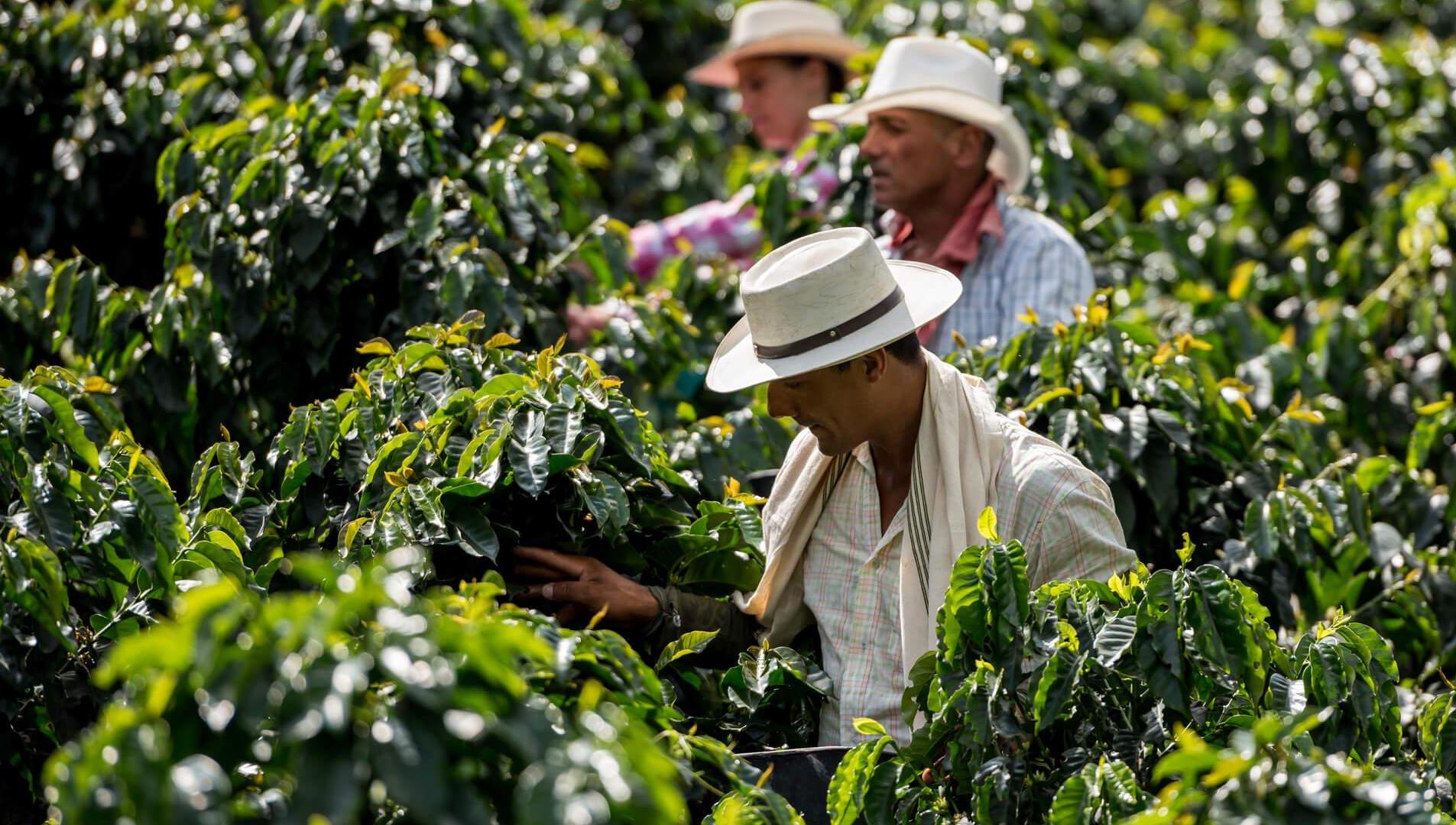 caffè verde più italiana